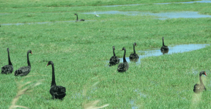 Black Swans at Rocky Mouth Creek